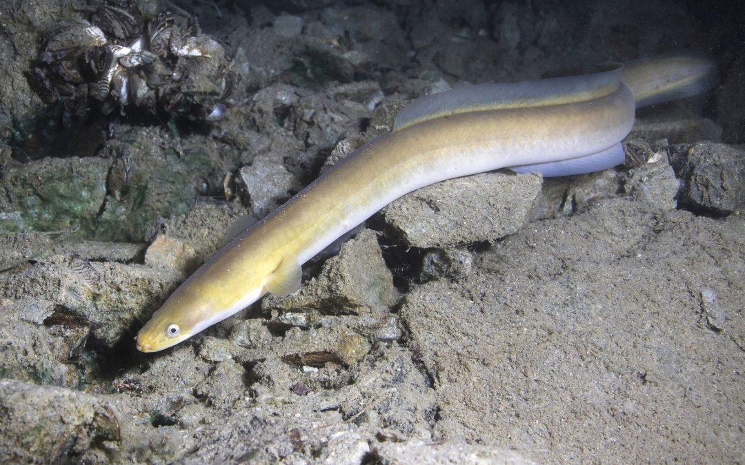 Aal – alle Informationen zum Fisch