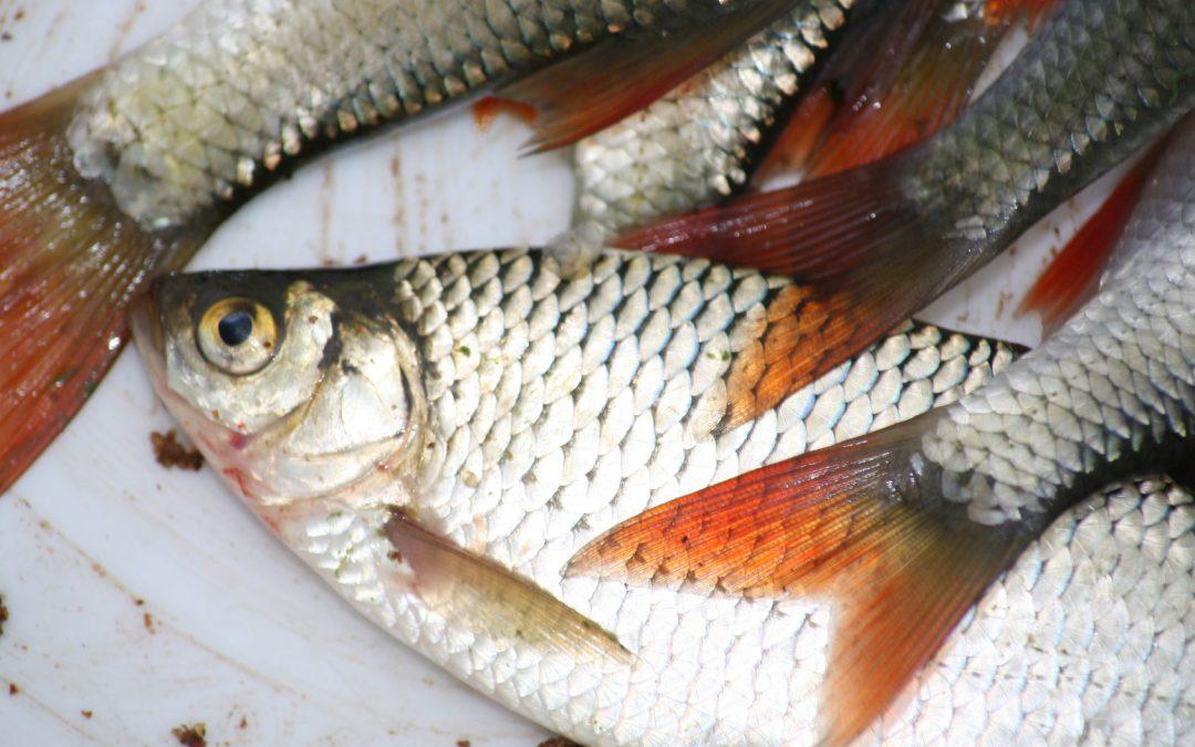 Rotfeder Alle Informationen Zum Fisch Angel Wissen