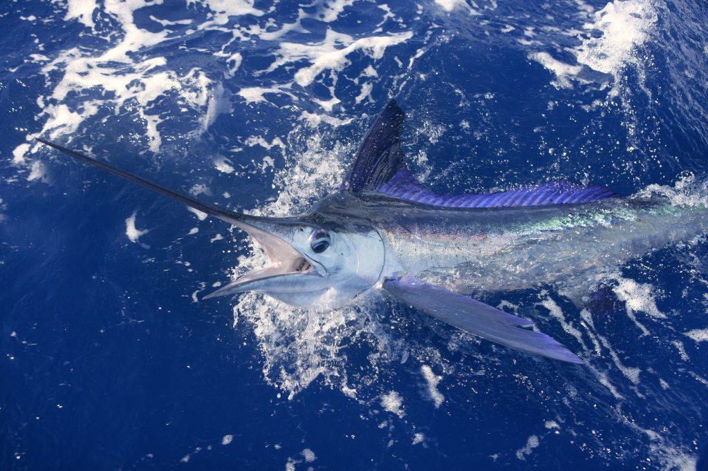 schleppfischen marlin