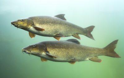 Barbe – Alles Wissenswerte zum Fisch