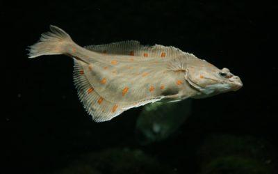 Die Scholle – Alles über den Plattfisch