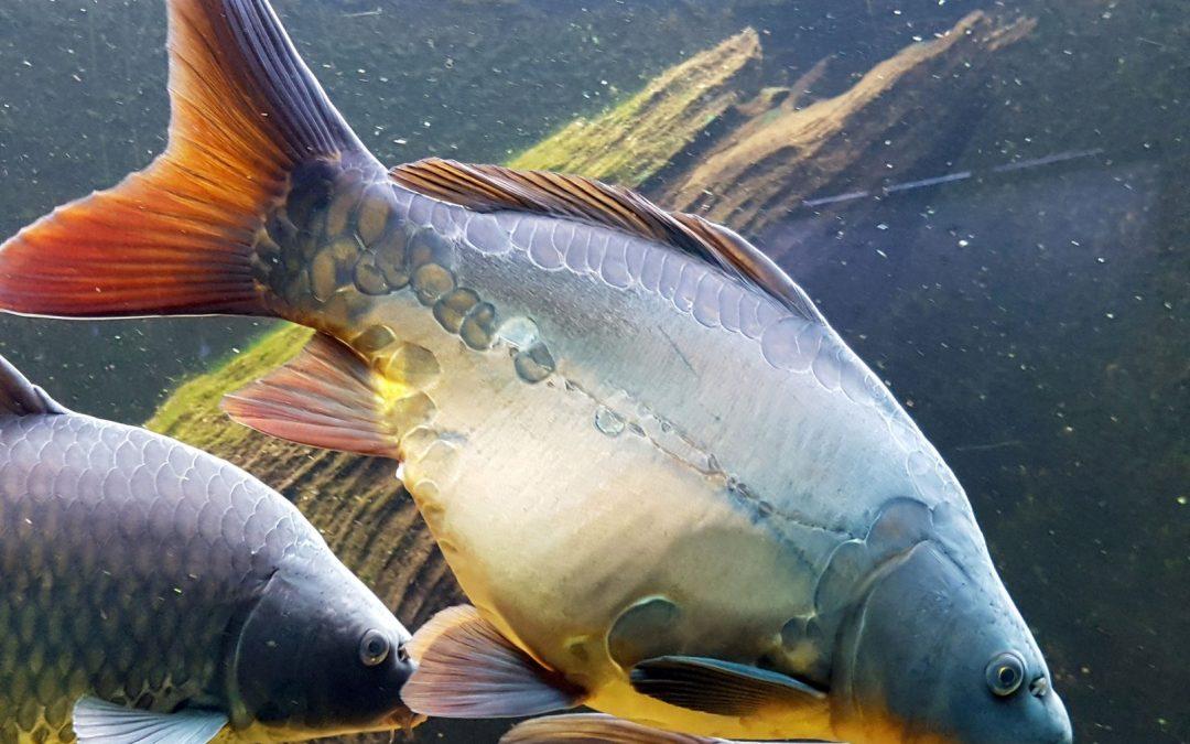 Spiegelkarpfen – Alle Informationen zum Fisch
