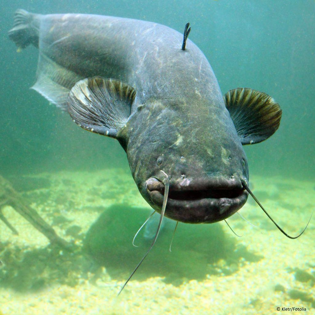 Wels unter Wasser von vorne