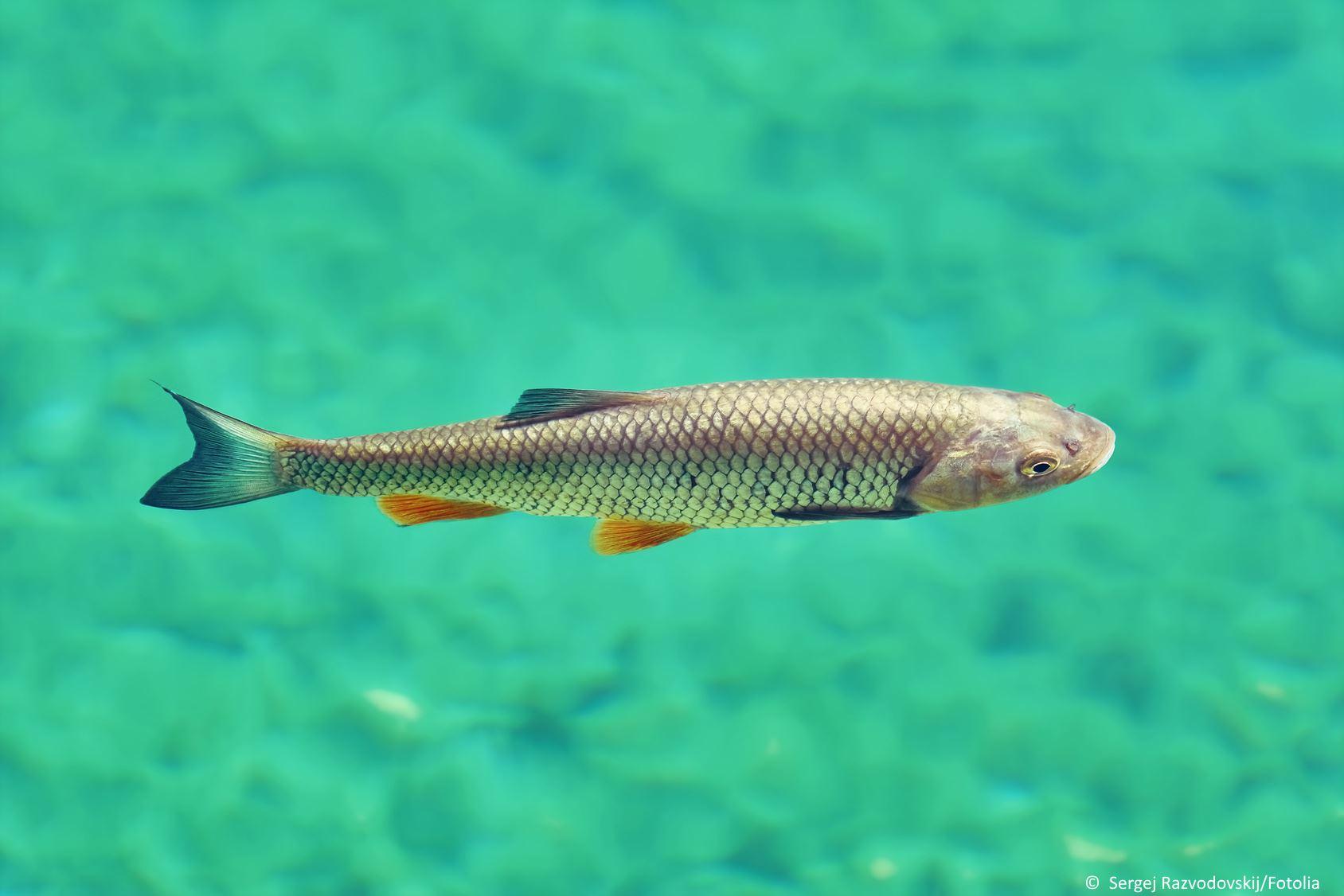 Döbel Fischportrait