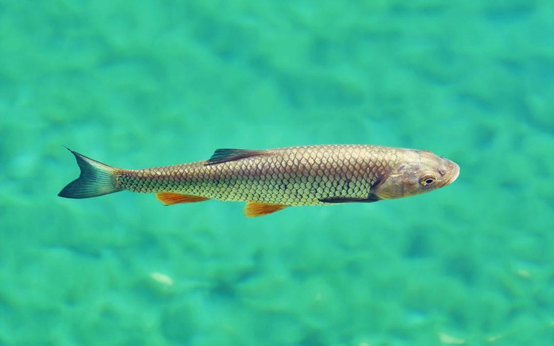 Der Döbel im Fischportrait