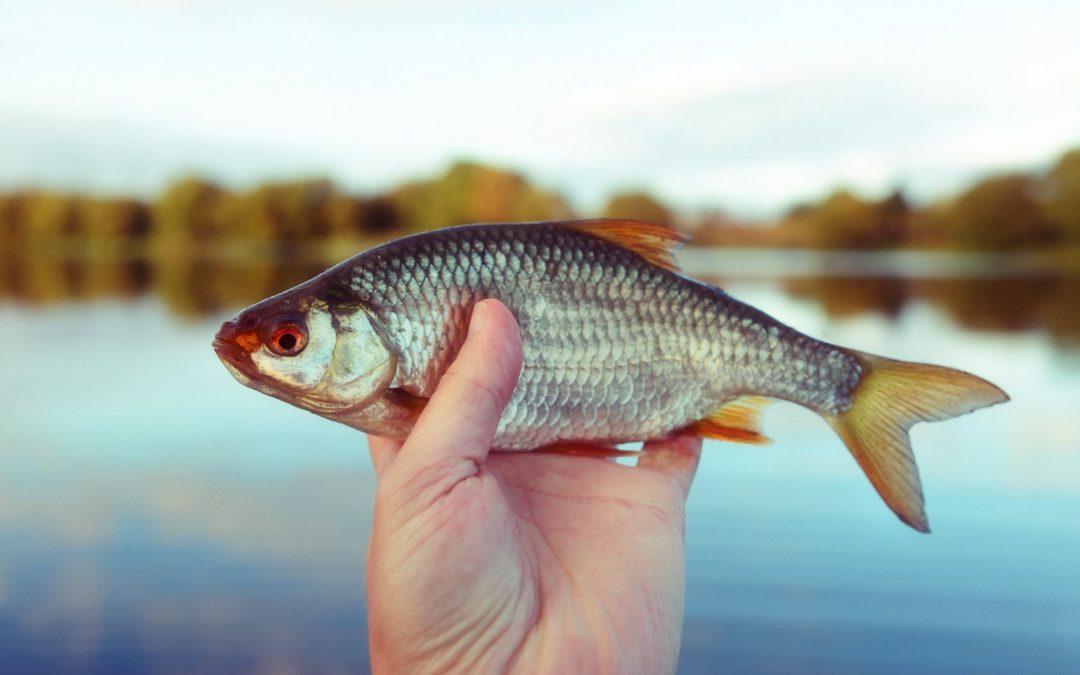 Angler mit einem Rotauge