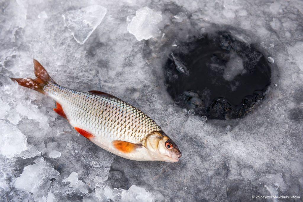 Rotauge bzw. Plötze im Winter auf Eis