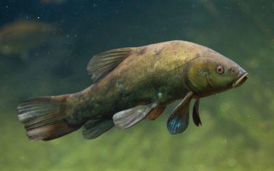 Die Schleie -Einzigartiger Grundfisch im Portrait