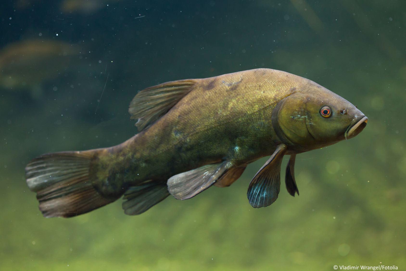 Schleie Grundfisch im Portrait