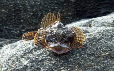 Der Seeteufel – alle Informationen zum Anglerfisch