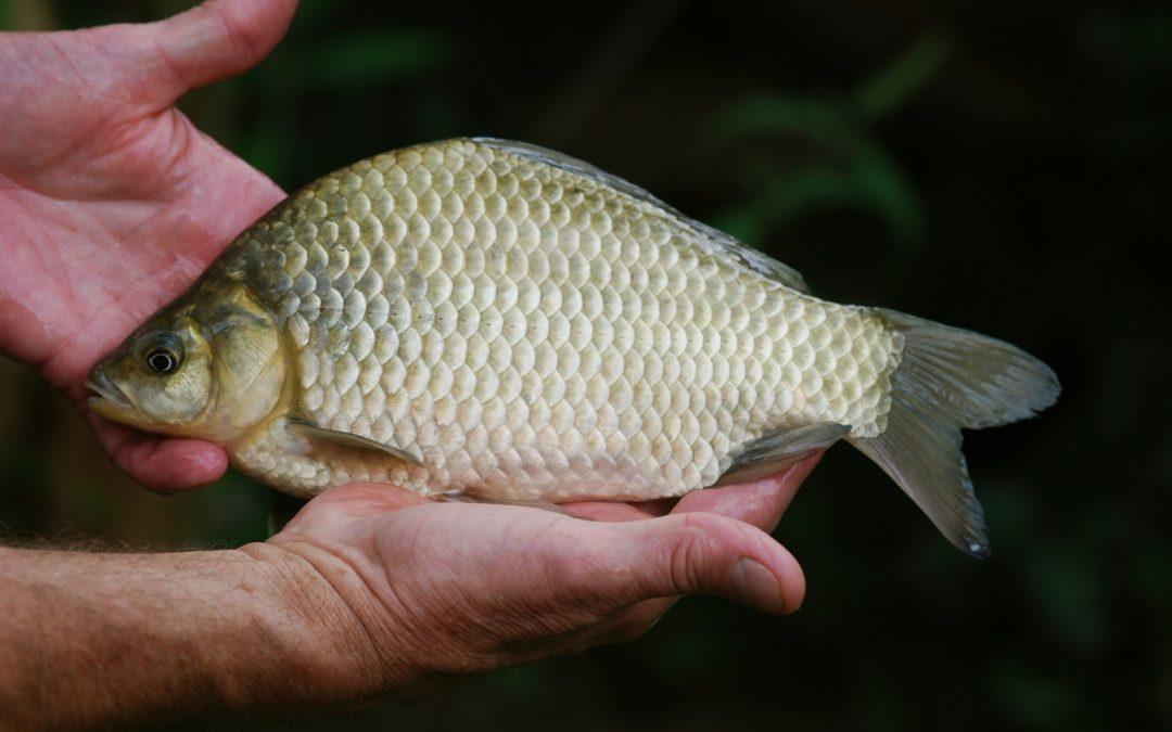 Die Karausche – bedrohte Fischart im Portrait