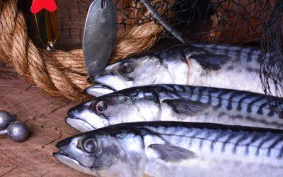 Makrele – der Torpedo der Meere im Fischportrait