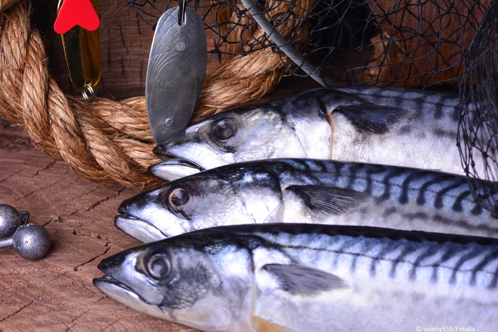 Makrele Fischportrait