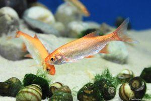 Goldorfe im Aquarium