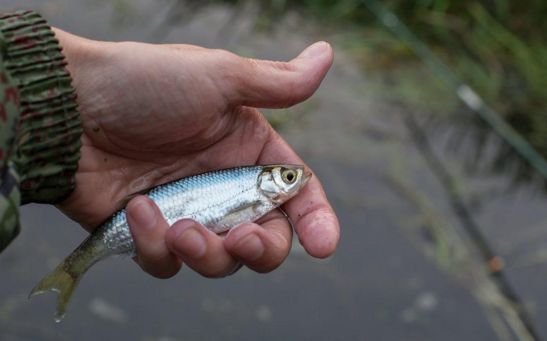 Der Ukelei im Fischportrait