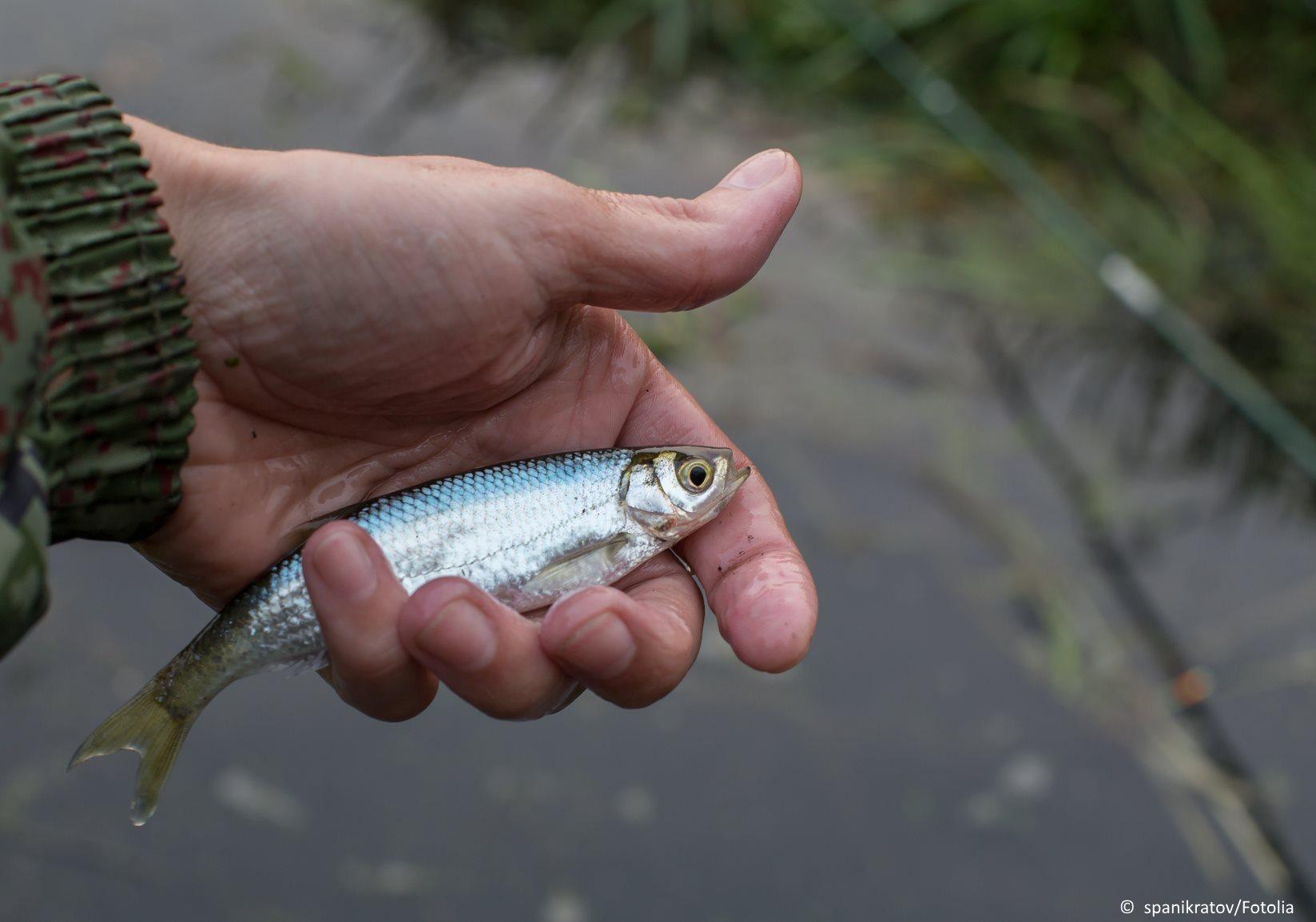 Ukelei in der Hand eines Fischers