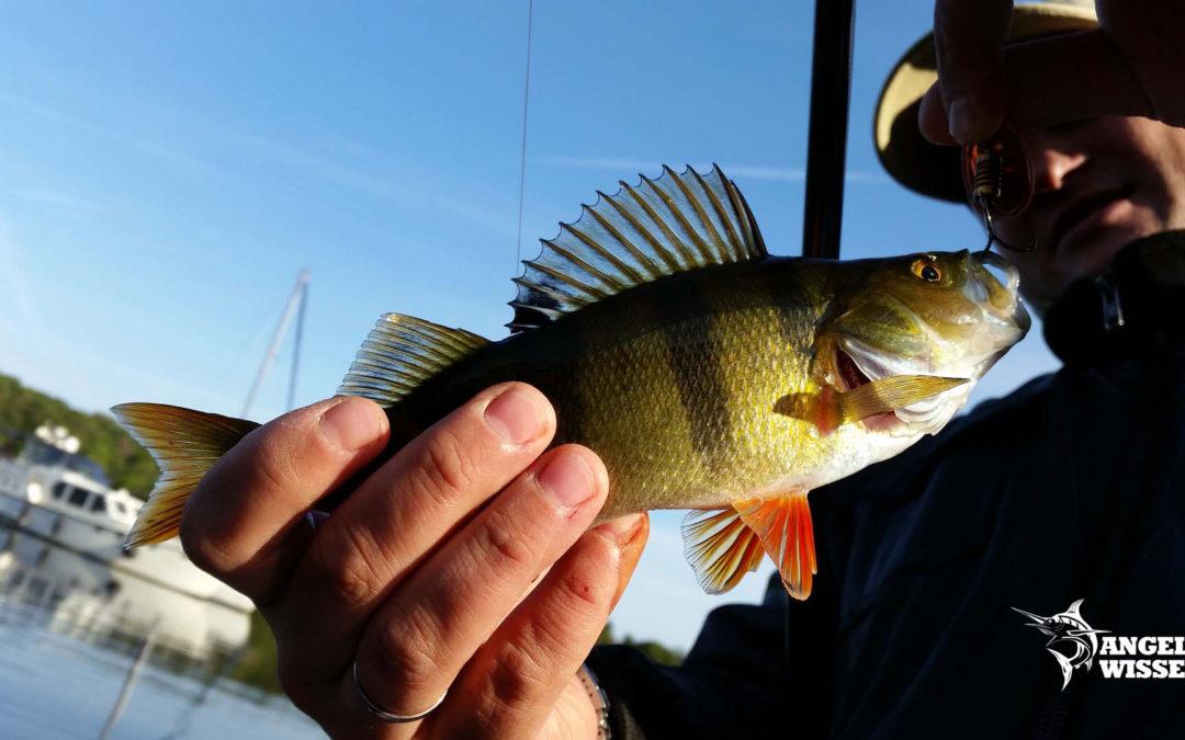 Barsch angeln – so fängt man richtig