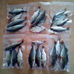 Köderfische richtig haltbar machen