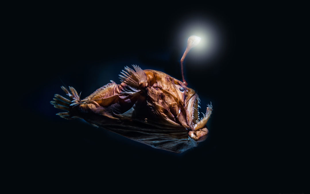 Anglerfisch – das Monster aus der Tiefsee