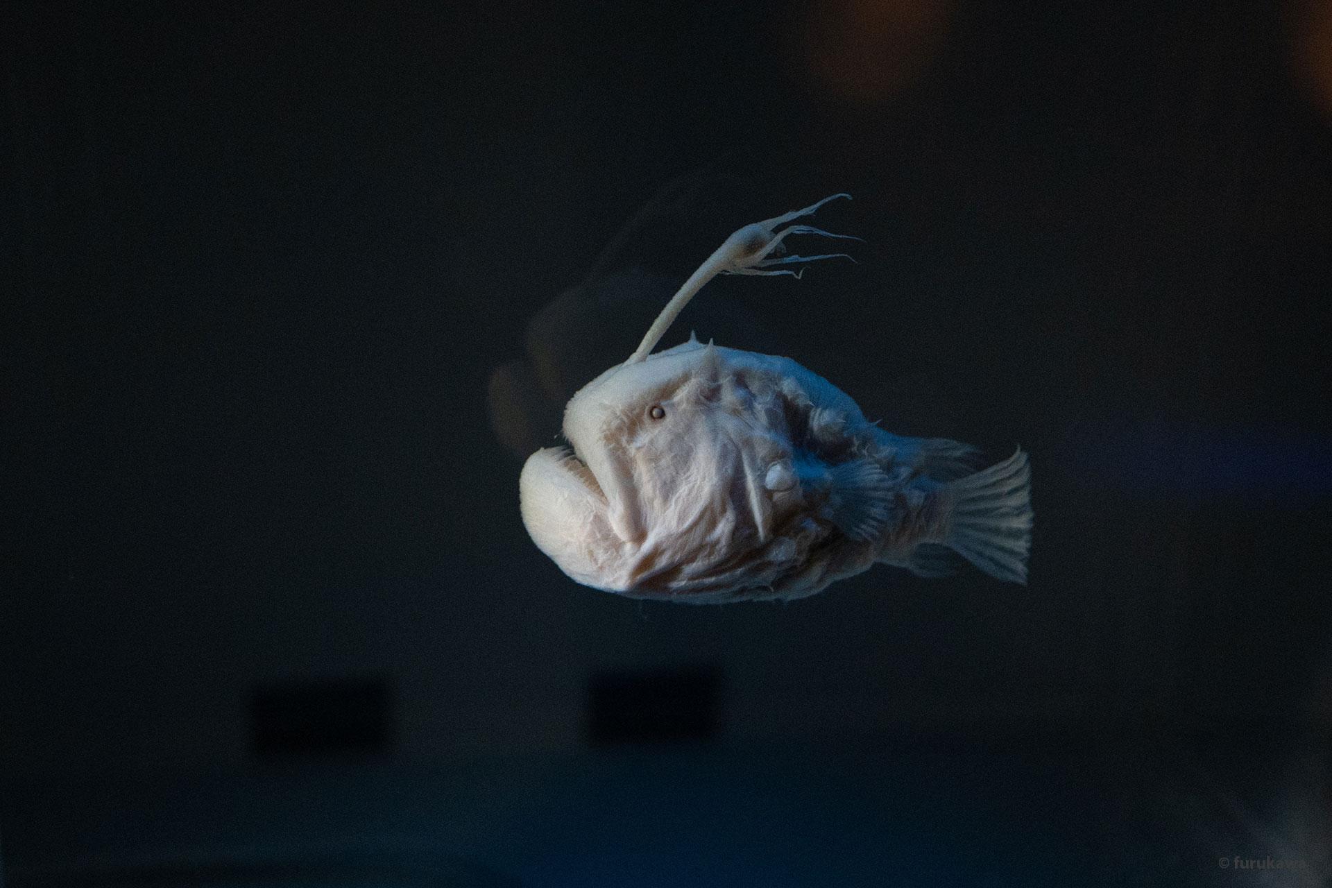 Tiefsee Anglerfisch mit transparenten Schuppen