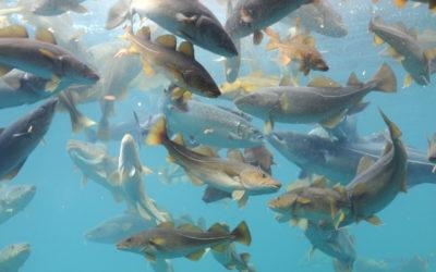 Kabeljau im Fisch-Steckbrief